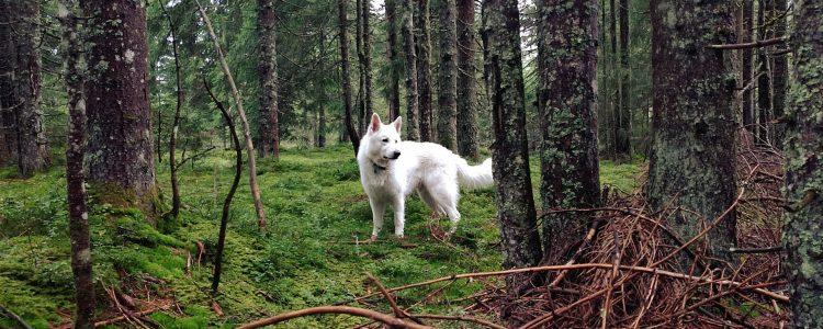 Weisser Schweizer Schaeferhund in Saalfelden beim Spazierengehen im Wald bei Regen