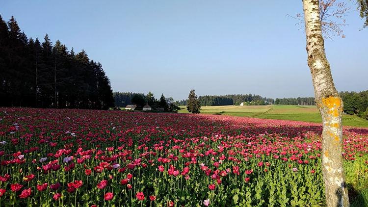 Ein blühendes Mohnfeld im Waldviertel in der Nähe des Mohndorfs Armschlag. Wanderhunger