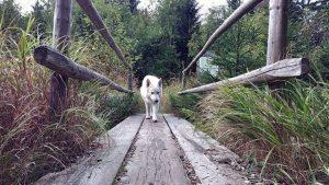 Weißer Schweizer Schäferhund Rocco geht über eine Holzbrücke im Tannermoor bei Liebenau. Wanderhunger