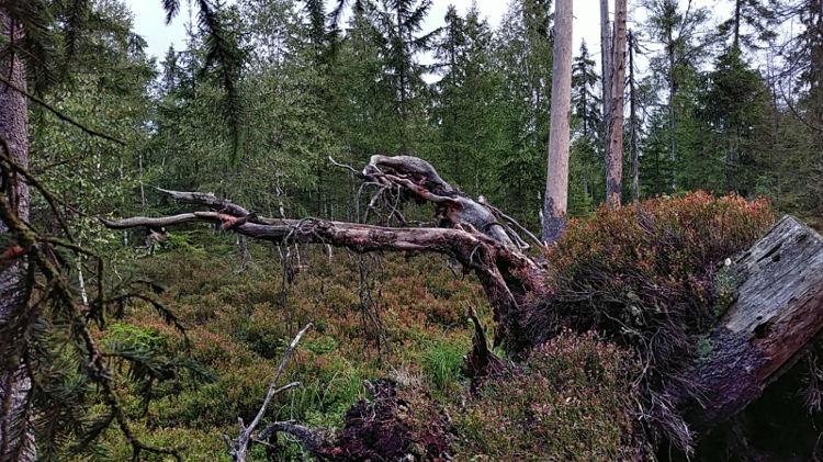 Ein alter Baumstumpf samt Wurzeln ragt aus den Heidelbeersträuchern. Tanner Moor bei Liebenau. Wanderhunger