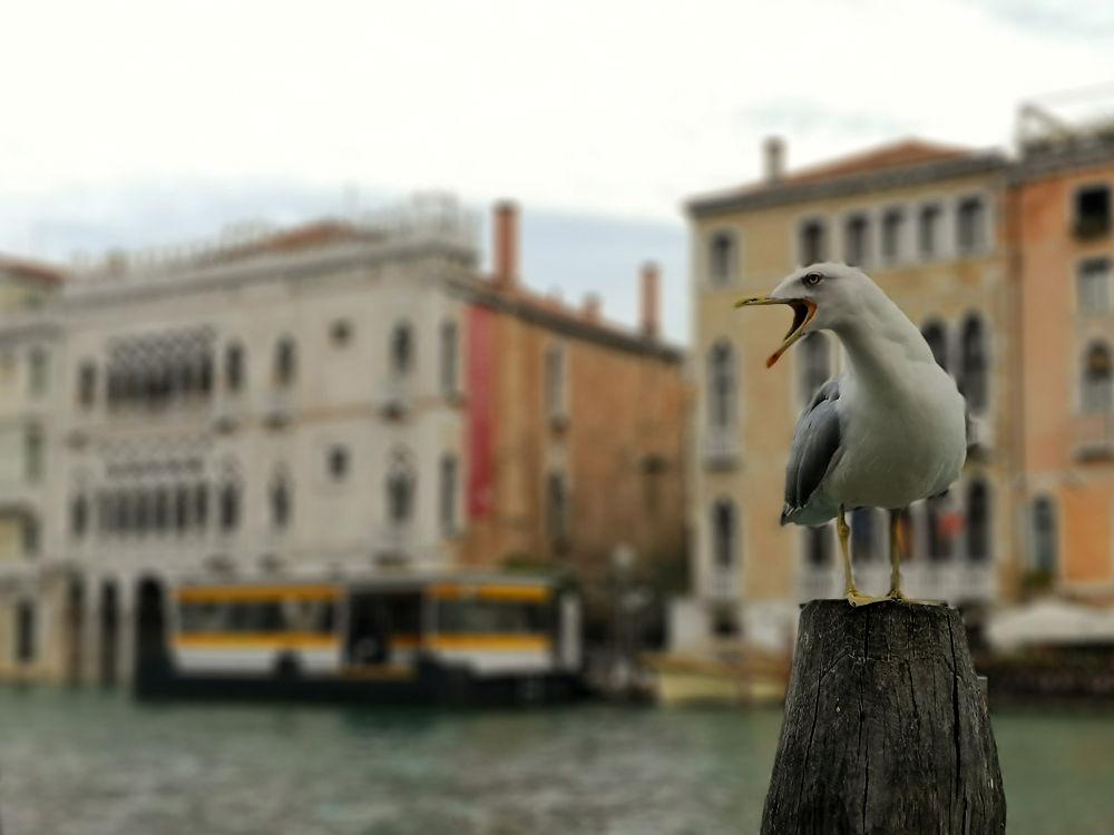 Eine Möwe wartet am Fischmarkt in Venedig ungeduldig auf ihren Fischanteil. #fopa 2. HJ 2018, Wanderhunger Reiseblog