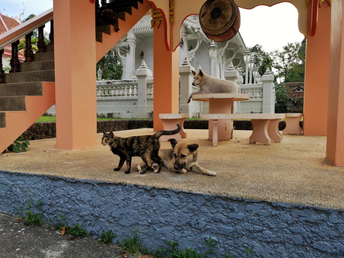 Im Wat Kathu Tempel auf Phuket leben viele gut gepflegte Hunde und Katzen, die auch sehr zutraulich sind. Wanderhunger
