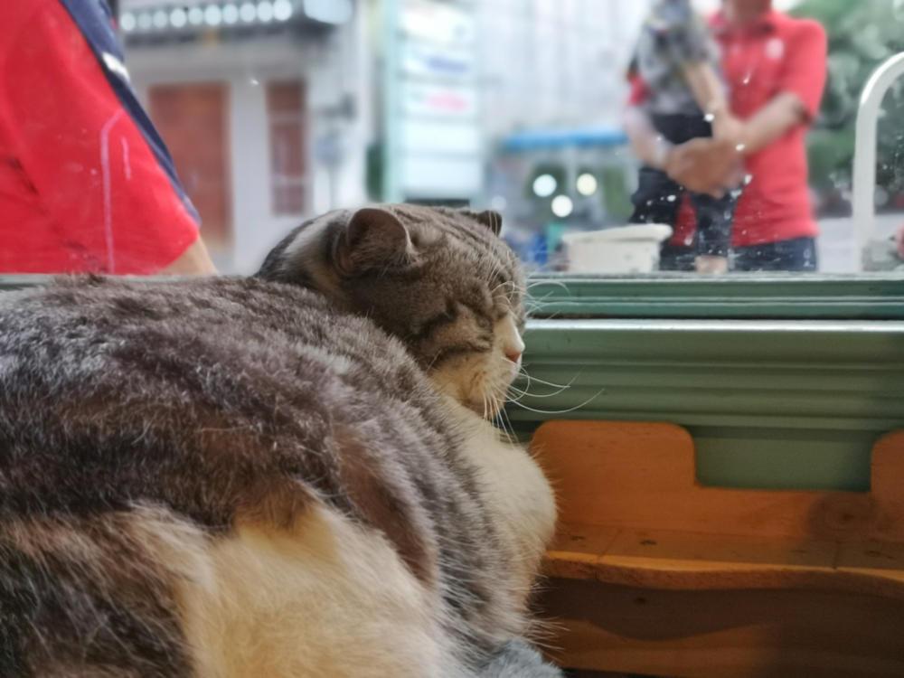 Eine Katze im B Cat Cafe, Phuket Town.