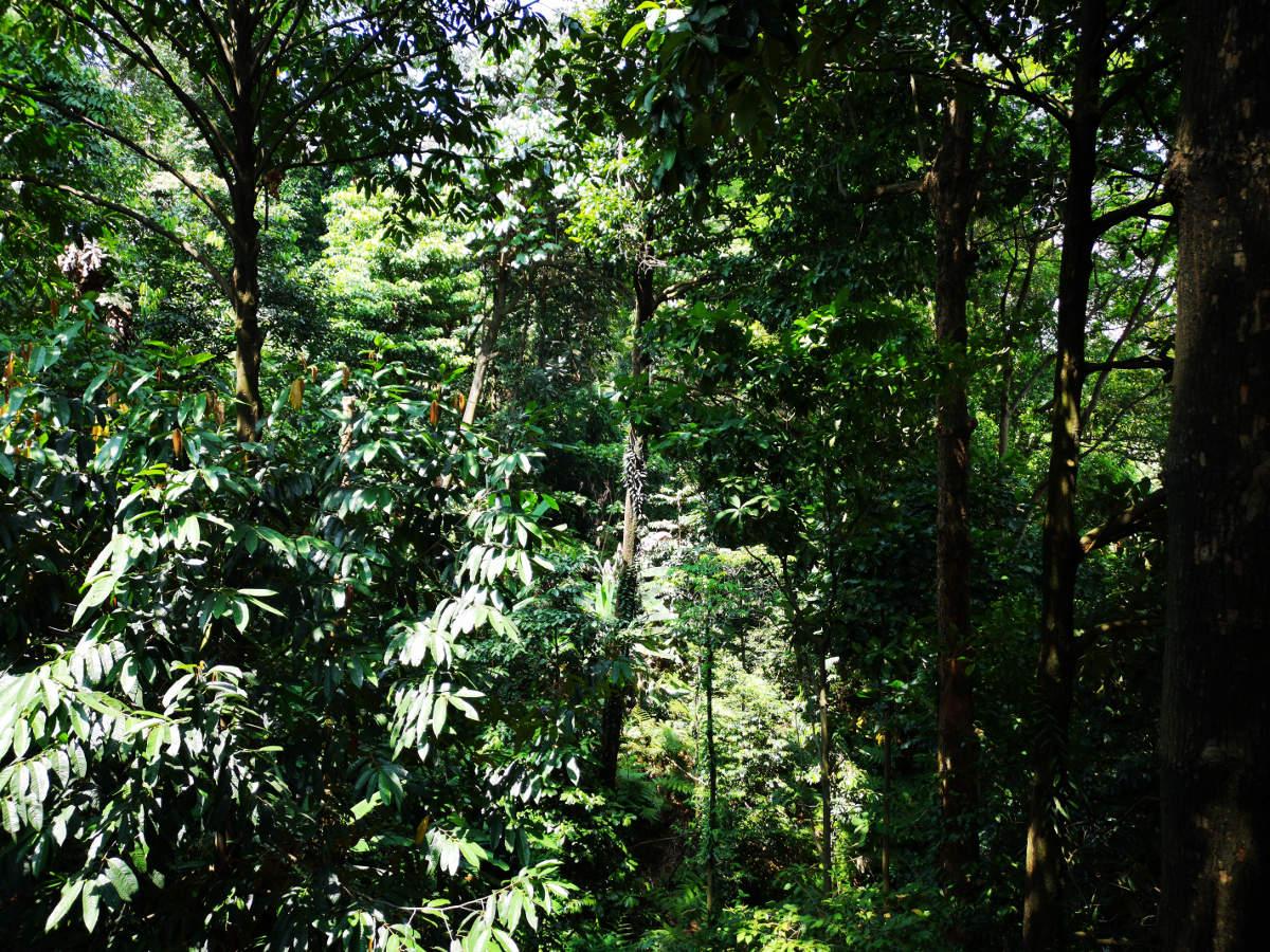 Der KL Forest Eco Park bietet mitten in der Großstadt von Kuala Lumpur 9 Hektar echten naturbelassenen Dschungel oder Urwald. Wanderhunger