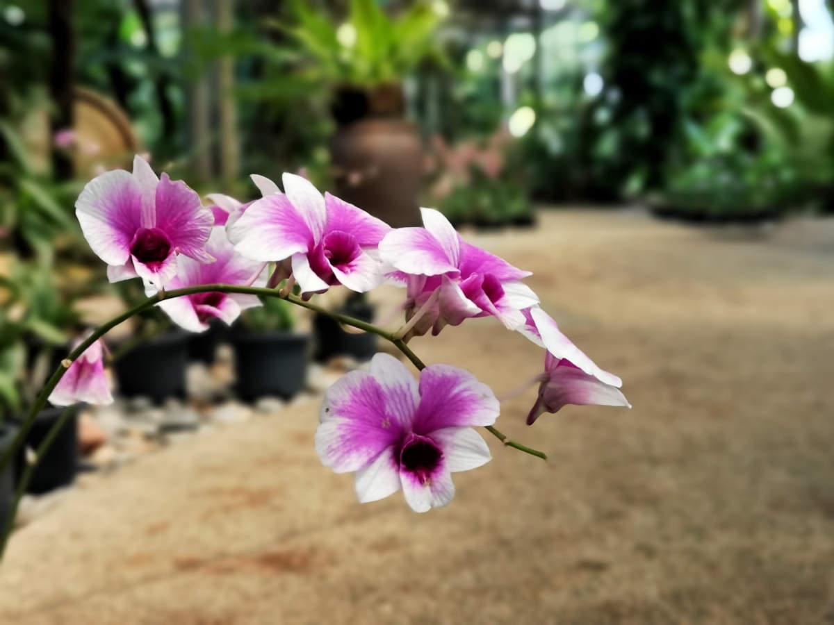 Die Perdana Lake Gartens oder der botanische Garten im Tun Abdul Razak Heritage Park in Kuala Lumpur bieten ein Teil davon als Orchideen Park oder Orchid Park an.. Wanderhunger