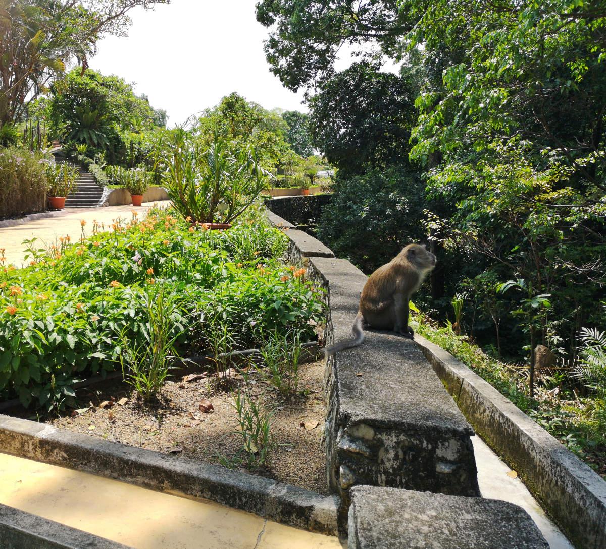 In den Perdana Lake Gardens oder im botanischen Garten im Tun Abdul Razak Heritage Park in Kuala Lumpur leben auch einige Javaner-Affen zur Freude der Besucher. Wanderhunger