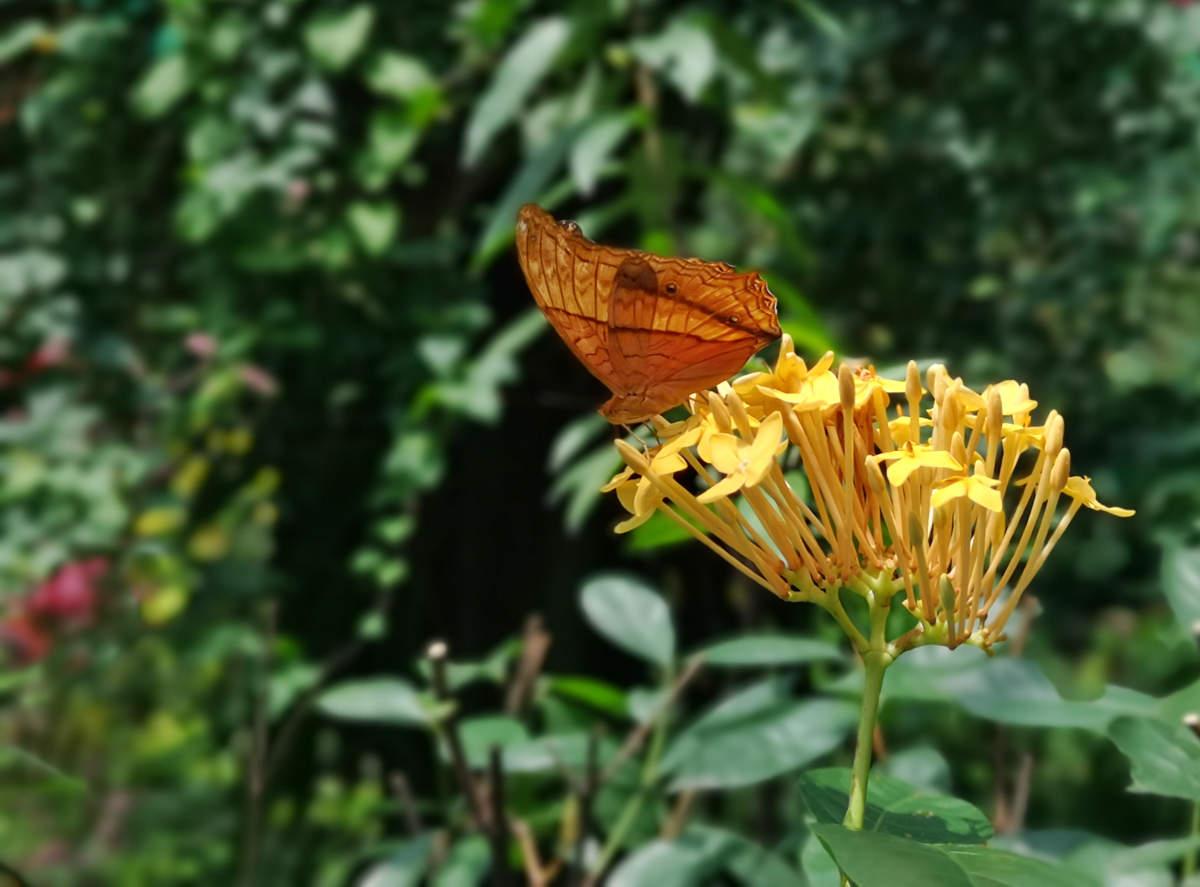 Ein attraktiver brauner Schmetterling auf einer Orchidee im Butterfly Park Kuala Lumpur. Wanderhunger
