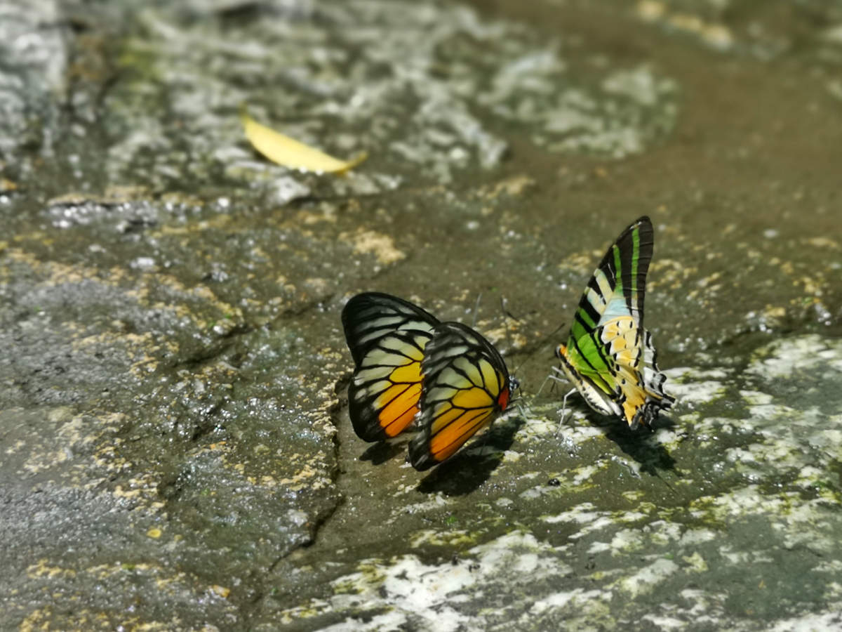 Oftmals sitzen Schmetterlinge im Butterfly Park Kuala Lumpur auf den Wegen und trinken hier das Wasser, das sich ansammelt. Da ist Vorsicht beim Gehen geboten. Wanderhunger