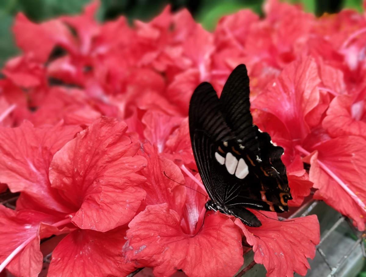 Dieser sehr große schwarze Schmetterling war auf den mit Honiglösung besprühten Hibiskusblüten im Butterfly Park Kuala Lumpur besonders schön zu fotografieren. Wanderhunger